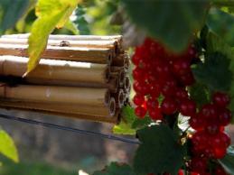 Insecten in de rode bessen aanplant: hoe voorkomen we dat er schade aan de oogst wordt aangericht?